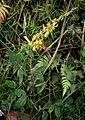 Crotalaria pallida 1.jpg