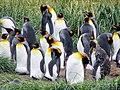 Crowd of penguins King Penguin Colony Tierra del Fuego Chile.jpg