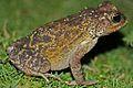 Cuban Spotted Toad (Peltophryne taladai) (8575064782).jpg
