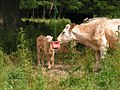 Cube-licking cow and calf.jpg
