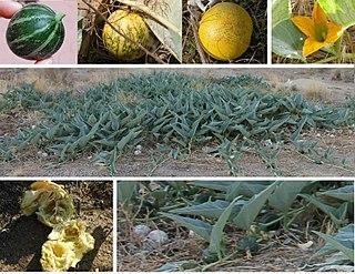 <i>Cucurbita foetidissima</i> species of plant, Buffalo gourd