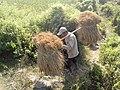 Cultivator Assam.jpg
