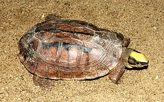 Golden coin turtle species of reptile