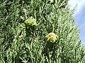 Cupressus sempervires cones.jpg