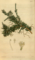 Curtis's Botanical Magazine, Plate 3078 (Volume 58, 1831).png
