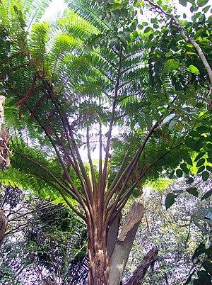 Cyathea brownii - Image: Cyathea RGBS