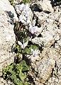 Cyclamen persicum - Persian cyclamen 06.jpg