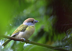 240px-cyclarhis_gujanensis