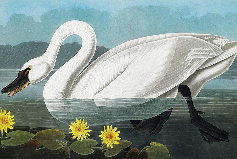 File:Cygnus columbianus (Audubon).jpg