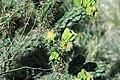 Cylindropuntia sp. (cholla) 4 (49044644072).jpg