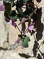 Cymbalaria muralis sl5.jpg