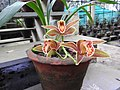 Cymbidium iridioides-2-bsi-yercaud-salem-India.jpg