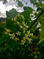 Cynanchum laeve - Honeyvine Milkweed.jpg