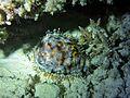 Cypraea tigris Maldives.JPG