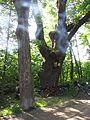Dąb w Chocimiu (Park Krajobrazowy Góry Opawskie) 01.jpg