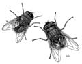 DIPT Calliphoridae Calliphora stygia 2adults.png
