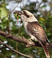 Dacelo novaeguineae -Sydney, Australia -frog in beak-8b.jpg
