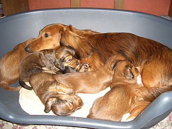 Long-haired dachshund with puppies