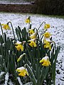 Daffodils in the snow, Torquay - geograph.org.uk - 1660479.jpg