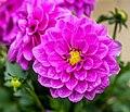 Dahlia FS1-2 - Flickr - Puddin Tain.jpg