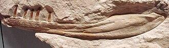 Dakosaurus - D. maximus specimen SMNS 82043.