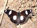 Danaid eggfly from Savandurga IMG 0117.jpg