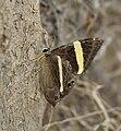 Dark Judy (Abisara fylla) at Samsing, Duars, West Bengal W IMG 6284.jpg
