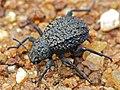 Darkling Beetle (Adesmia sp. ?) (11929846524).jpg