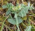 Dasineura spadicae on Tufted Vetch Vicia cracca (25866154338).jpg
