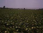 Day laborers picking string beans 1a33789v.jpg