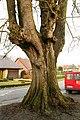 De Zeven-Sacramentenboom , opgaande linde - 374864 - onroerenderfgoed.jpg