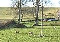 December lambs at Pant Glas Farm - geograph.org.uk - 647270.jpg