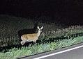 Deer in headlights, South Dakota at Night (28654299273).jpg
