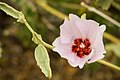 Desert hibiscus (13496396763).jpg