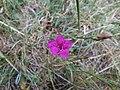 Dianthus deltoides Orikrin 005.jpg
