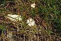 Dianthus monspessulanus sp6.JPG