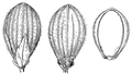 Dichanthelium xanthophysum (as Panicum xanthophysum) HC-1935.png