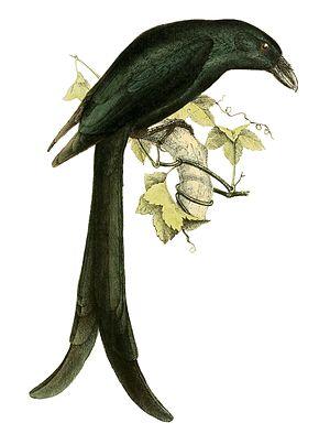 Mayotte drongo - Image: Dicrurus waldenii 1868