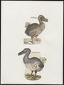 Didus ineptus - 1700-1880 - Print - Iconographia Zoologica - Special Collections University of Amsterdam - UBA01 IZ15600015.tif