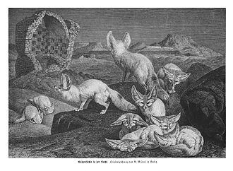 Fennec fox - An 1876 sketch of a pack of fennec foxes