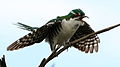 Diederik cuckoo, Chrysococcyx caprius (male), at Rietvlei Nature Reserve, Gauteng, South Africa (23551712321).jpg