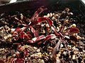 Dionaea muscipula akai ryu.jpg