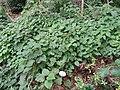 Dioscorea caucasica - Botanischer Garten, Frankfurt am Main - DSC02617.JPG