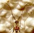 Diptera (2737432568).jpg
