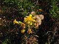 Dittrichia viscosa Sos Alinos Rural 16072014 40.437, 9.767.jpg
