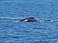 Diving minke whale - panoramio.jpg