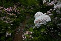 Dolly-sods-mountain-laurel-trail.jpg
