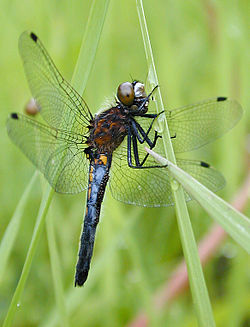 Dot-tailed-whiteface-jf.jpg