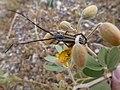 Double-banded Bycid - Sphaenothecus bivittata on Senna covesii – Coves' Cassia, 2013 - panoramio.jpg