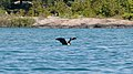 Double-crested Cormorant (Phalacrocorax auritus) - Killarney, Ontario 01.jpg